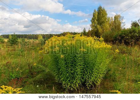 goldenrod blooming in the meadow at the edge of the forest
