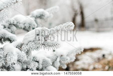 Winter background. A coniferous tree in hoarfrost and snow