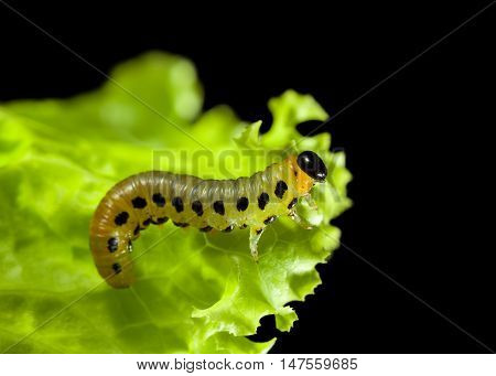 Macro of feeding on lettuce leaf caterpillar isolated on black background
