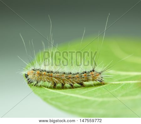 Shaggy Vermin Caterpillar On Leaf Edge