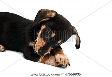 Dachshund puppy doggy on a white background
