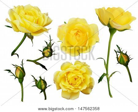 Set of yellow rose flowers and buds isolated on white
