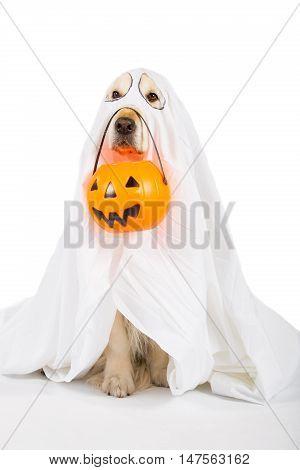 Golden Retriever disguised as a ghost with a Halloween pumpkin