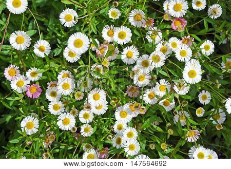 White and pink Seaside daisies in a spring garden. Also known as Beach Aster or Beach Daisy.