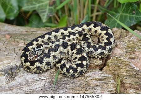 The Adder, or Vipera berus, is the UK's only poisonous snake.