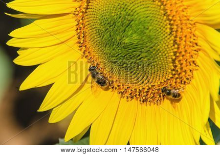 Detail of two bees pollinating sunflowers in summertime