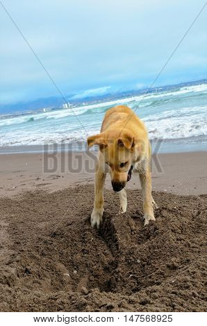 A stray dog is digging a hole at the beach in La Serena, Chile, South America with the ocean in the background