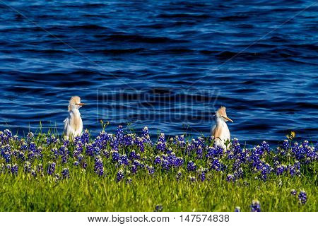 A Cute Pair of Cattle Egret (Bubulcus ibis) in Beautiful Famous Texas Bluebonnet (Lupinus texensis) Wildflowers at Muleshoe Bend on Lake Travis in Texas.
