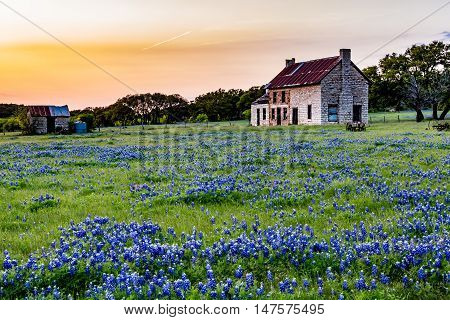 An Interesting Abandonded Old Rock Homestead in a Beautiful Field Loaded with the Famous Texas Bluebonnet (Lupinus texensis) Wildflowers.