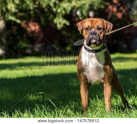 German boxer dog, young, purebred, one and half years, in a rack on the green grass, sunny day, bright, wearing a collar, iron spikes, black, canvas leash, white chest, striped, brown, long ears, tail