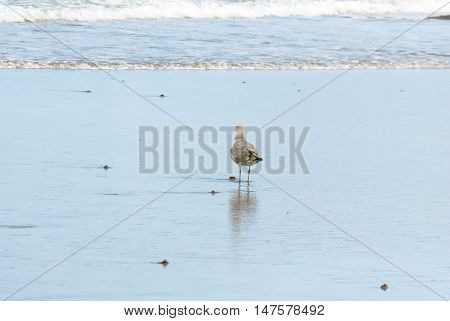 Seagull And Reflection In The Shoreline