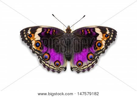 Purple Color Blue Pansy Butterfly