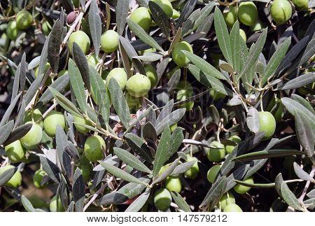 Abundant harvest ripe olives on the tree