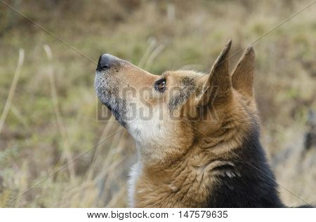 Muzzle of Shepherd who looks up attentively