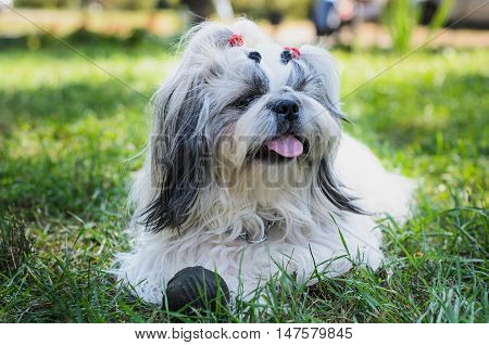 Shih tzu dog on grass with toy. Outdoor photography.
