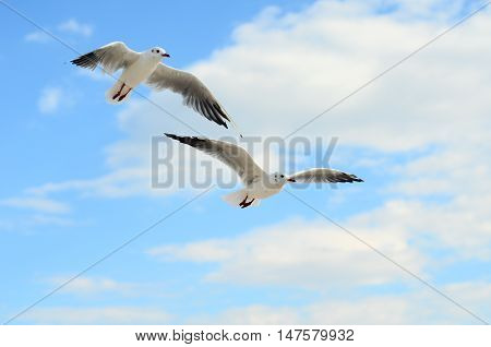 Two Seagulls in the blue sky. Black Sea Coast.