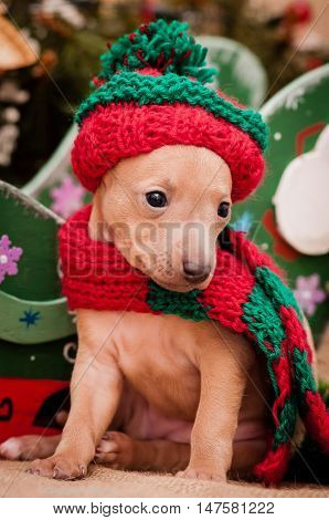 Italian greyhound puppy on a background of a New Year decoration