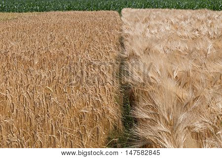 Different varieties of wheat grown in the vicinity.