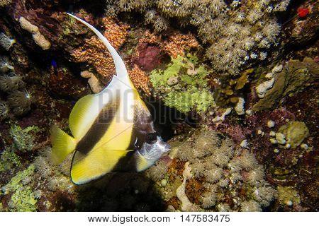 Longfin Bannerfish In Egypt