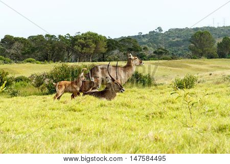 The Family -Waterbuck - Kobus Ellipsiprymnus - The waterbuck is a large antelope found widely in sub-Saharan Africa. It is placed in the genus Kobus of the family Bovidae.