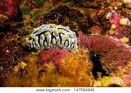 A yellow white nudibranch in the red sea