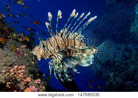 portrait of lionfish in the red sea