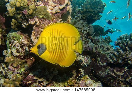 Blue cheeked butterflyfish in the red sea