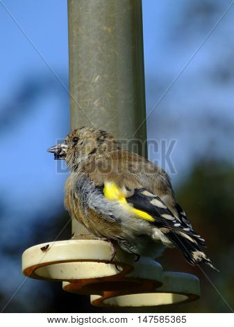 Goldfinch perched at a niger seed feeder