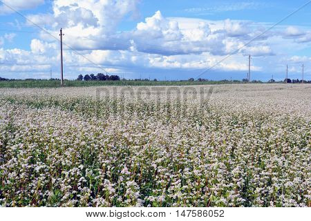 Field of white flowering buckwheat on sunny day by electrical poles
