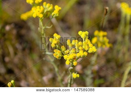 Yellow Helichrysum arenarium growing  on the meadow
