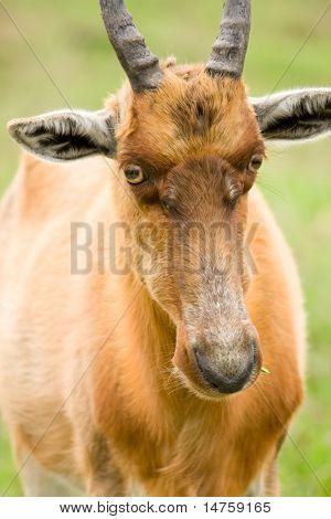 african antelope closeup