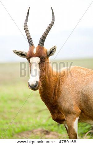 bontebok antelope in africa