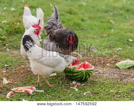 hen and rooster eating watermelon on the grass