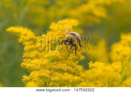 bumblebee pollinating a yellow goldenrod close up