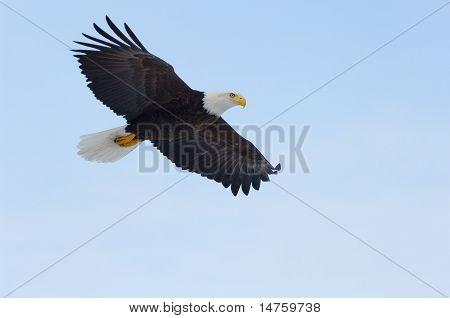 Águila calva de Alaska, Haliaeetus Leucocephalus