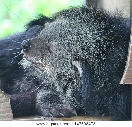 sleepy, shaggy binturong trying to take a nap, zoo near Songkhla, Thailand