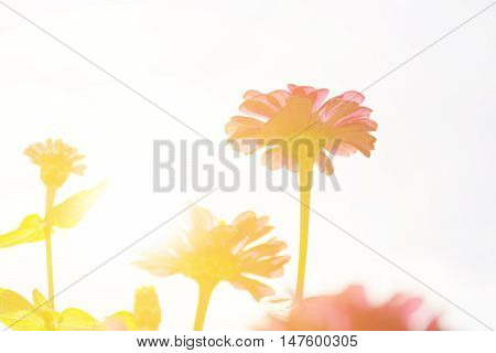 Zinnia or Zinnia violacea Cav flower and sunshine.Nature background.