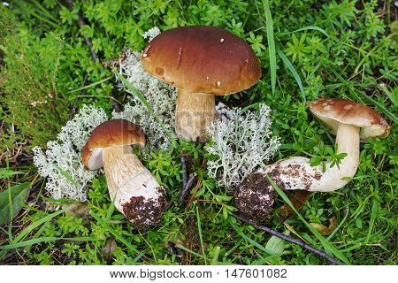 Three Mushroom Boletus Found  In September