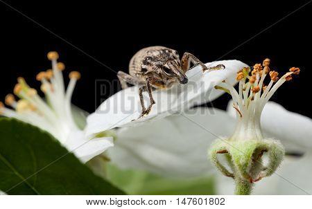 Macro Of Bug On White Petal