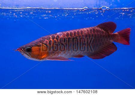 Asian Arowana fish in aQuarium on blue background