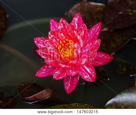 This beautiful waterlily or lotus flower is complimented by the rich colors