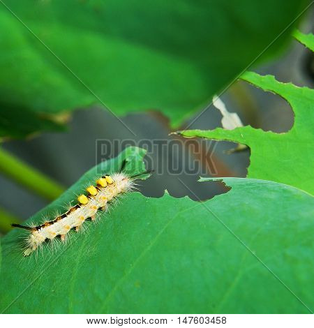 worm eating on a leaf lotus in nature