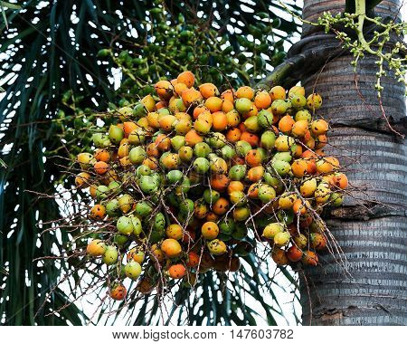 fresh betel palm bunch red fruits of decorative plant, red betel palm on the palm tree under natural sunlight and environment