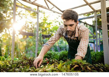 Young handsome gardener smiling, taking care of plants.