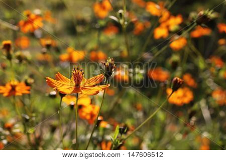 Cosmos sulphureus also known as Sulfur Cosmos and Yellow Cosmos. The original and its cultivars appear in shades of yellow orange and red.
