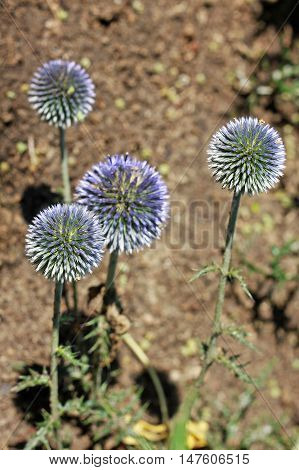 Echinops ritro is a clump-forming 4-foot tall plant with golf ball sized blue flower heads atop stiff rigid stems clad with deeply lobed dark green thistle-like foliage.