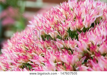 Close up succulent plant in bloom pink