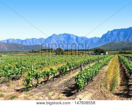 Grape Farm, Western Cape South Africa 02c