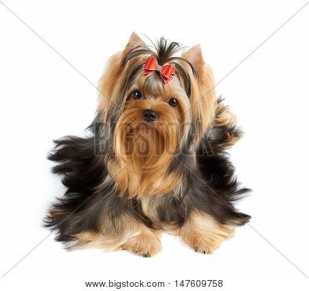 Beautiful Yorkshire Terrier of show class with perfectly groomed long hair and red sparkling bow. Tilted head and looking into the camera.