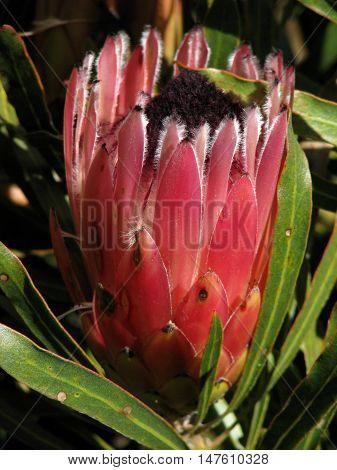 Proteas From Kirstenbosch Botanical Gardens, Cape Town South Africa 04g